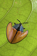Mar2613 Art - Leaf Beetle Paramaribo Surinam by Piotr Naskrecki