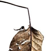Fallen Posters - Leaf Poster by Bernard Jaubert