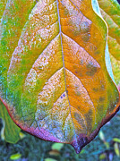 Persimmons Prints - Leaf Print by Bill Owen