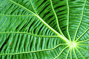 Costa Rica Prints - Leaf Print by by Jonathan Fife