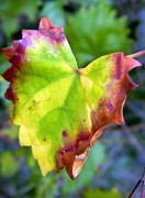 Grape Leaf Prints - Leaf Curl Print by Warren Thompson
