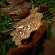 Raindrop Prints - Leaf in autumn. Print by Bernard Jaubert
