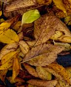 Fall Leaves Photos - Leaf Litter by Robert Ullmann