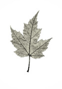 Morning Backlight Prints - Leaf Print by Marius Sipa