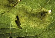 Eating Entomology Metal Prints - Leaf Miners In A Dock Leaf Metal Print by Vaughan Fleming