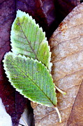 Elms Prints - Leaf Montage No. 1 Print by The Forests Edge Photography - Diane Sandoval