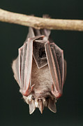 Bat Photos - Leaf-nosed Bat Phyllostomidae, Amazon by Murray Cooper