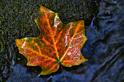Leaf Of Autumn Print by Cheryl Cencich
