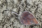 Singles Prints - Leaf On Frozen Mud, Athabasca River Print by Darwin Wiggett