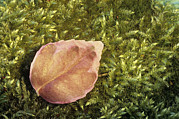Fallen Leaf Photos - Leaf On Moss by Archie Young