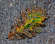 Decaying Prints - Leaf on the Sidewalk Print by Robert Ullmann
