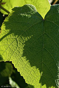 Grape Leaf Framed Prints - Leaf Shadow Framed Print by Susan Herber