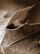 Autumn Leaves Acrylic Prints - Leaf Study in Sepia II Acrylic Print by Lauren Radke