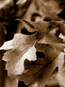 Recently Sold - Leaf Study in Sepia III by Lauren Radke
