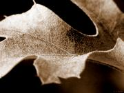 Best Selling Prints - Leaf Study in Sepia Print by Lauren Radke