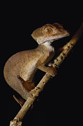 Madagascar National Park Prints - Leaf-tailed Gecko Uroplatus Ebenaui Print by Pete Oxford