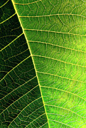 Fiber Framed Prints - Leaf Texture Framed Print by Carlos Caetano