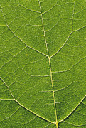 Grape Leaves Prints - Leaf Veins Print by Alan Sirulnikoff