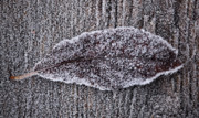 Jouko Mikkola Metal Prints - Leaf with frost Metal Print by Jouko Mikkola