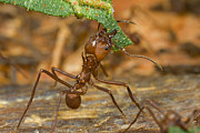 Guyana Prints - Leafcutter Ant Major Worker  Guyana Print by Piotr Naskrecki
