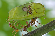 Animals And Insects Photos - Leafcutter Ants Costa Rica by Piotr Naskrecki