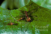 Ant Art - Leafcutter Ants Cutting Leaf by Greg Dimijian