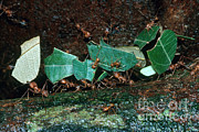 Featured Acrylic Prints - Leafcutter Ants Acrylic Print by Gregory G. Dimijian
