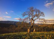 Selection Posters - Leafless Oak Tree In Mountain Meadow Poster by Natural Selection Craig Tuttle