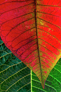 Vegetation Metal Prints - Leafs Macro Metal Print by Carlos Caetano