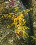Leafy Sea Dragon Posters - Leafy Sea Dragon Against Colorful Rocks Poster by Max Allen
