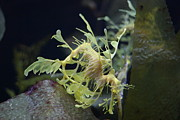 Leafy Sea Dragon Posters - Leafy Sea Dragon Poster by Brian Inscore