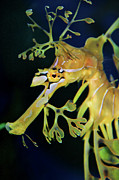 Aquarium Of The Pacific Posters - Leafy Sea Dragon Poster by Mariola Bitner