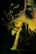 Leafy Sea Dragon Posters - Leafy Sea Dragon Poster by Matthew Oldfield