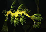 Leafy Sea Dragon Posters - Leafy Sea Dragon Poster by Paulette  Thomas