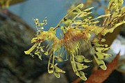 Leafy Sea Dragon Posters - Leafy Sea Dragon Poster by Yue Chen