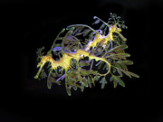 Sea Horse Posters - Leafy Sea Dragons Poster by Anthony Jones