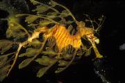 Leafy Sea Dragon Posters - Leafy Seadragon, Off Kangaroo Island Poster by James Forte