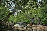 Leaning Cedar At Cascade River Print by Marvil LaCroix