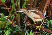 Wade Fishing Photos - Least Bittern In The Open by Ira Runyan