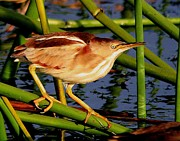 Wade Fishing Photos - Least Bittern  by Ira Runyan