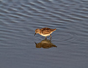 Shallows Posters - Least Sandpiper Poster by Louise Heusinkveld