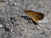 Butterfly Photos - Least Skipper by Randy Bodkins
