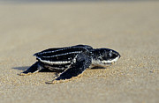 Baby Sea Turtle Framed Prints - Leatherback Sea Turtle Dermochelys Framed Print by Ingo Arndt