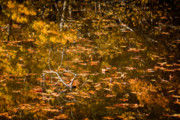Wild And Scenic Prints - Leaves and Reflections Print by Susan Cole Kelly