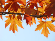 Red Leaves Photos - LEAVES AUTUMN Orange Sunlit Fall Leaves Blue Sky Baslee Troutman by Baslee Troutman Art Prints Collections