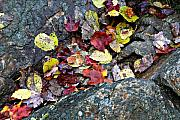 Colorfull Prints - Leaves between the Rocks Print by Tom  Wray