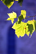 Photo Prints Prints - Leaves Print by Eva Ason