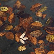 Fallen Leaf Lake Posters - Leaves in a lake Poster by Bernard Jaubert