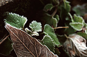 Macro Photograph Originals - Leaves in winter frost by Kristijonas Tarabilda
