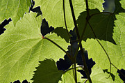 Grapevine Leaf Framed Prints - Leaves Of Wine Grape Framed Print by Michal Boubin